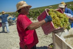 An immigrant farmworker harvesting grapes