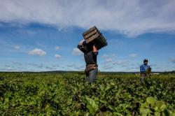 A worker carries a harvest basket at Glebocki farms