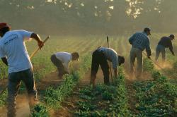 Workers in a field of row crops