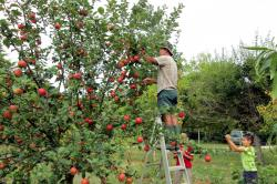 people picking apples with a ladder